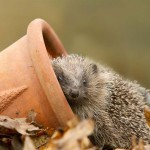 Help for hungry hedgehogs
