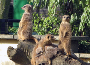 Meerkats sunbathing on log