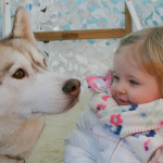 Meet Santa with his reindeer – including baby Rudolph - and take a husky sleigh ride