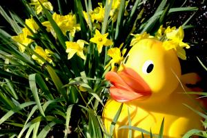 wwwt duck in daffs light