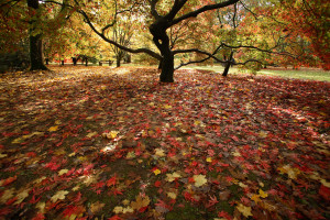 Autumn at Westonbirt, credit Forestry Commission, Westonbirt Arboretum