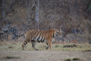 tiger---kanha-national-park---indiaroger-hoyle-photo_6286632322_o