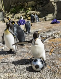 ©MARK HEMSWORTH. 19/04/16. BIRDLAND, BOURTON ON THE WATER, GLOUCESTERSHIRE. Penguin football at Birdland. A Danish penguin plays football against the English penguins with jumpers as goal posts. Photo credit : MARK HEMSWORTH