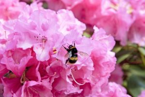 Buff tailed Bumble bee on an azalea flower, London.
