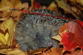 heddgehog