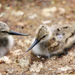 Trio of  avocet chicks born at Birdland Park and Gardens.