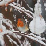 Make your garden a safe haven for robins